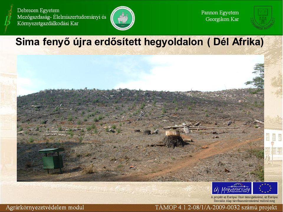 Sima fenyő újra erdősített hegyoldalon ( Dél Afrika)