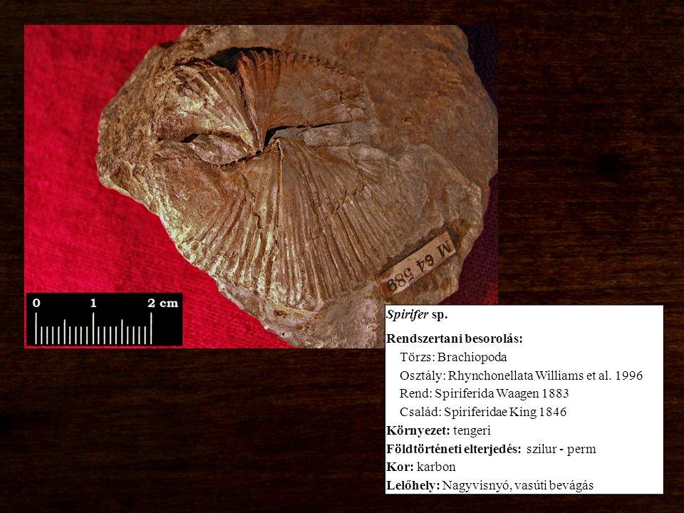 Spirifer sp. Rendszertani besorolás: Törzs: Brachiopoda Osztály: Rhynchonellata Williams et al.