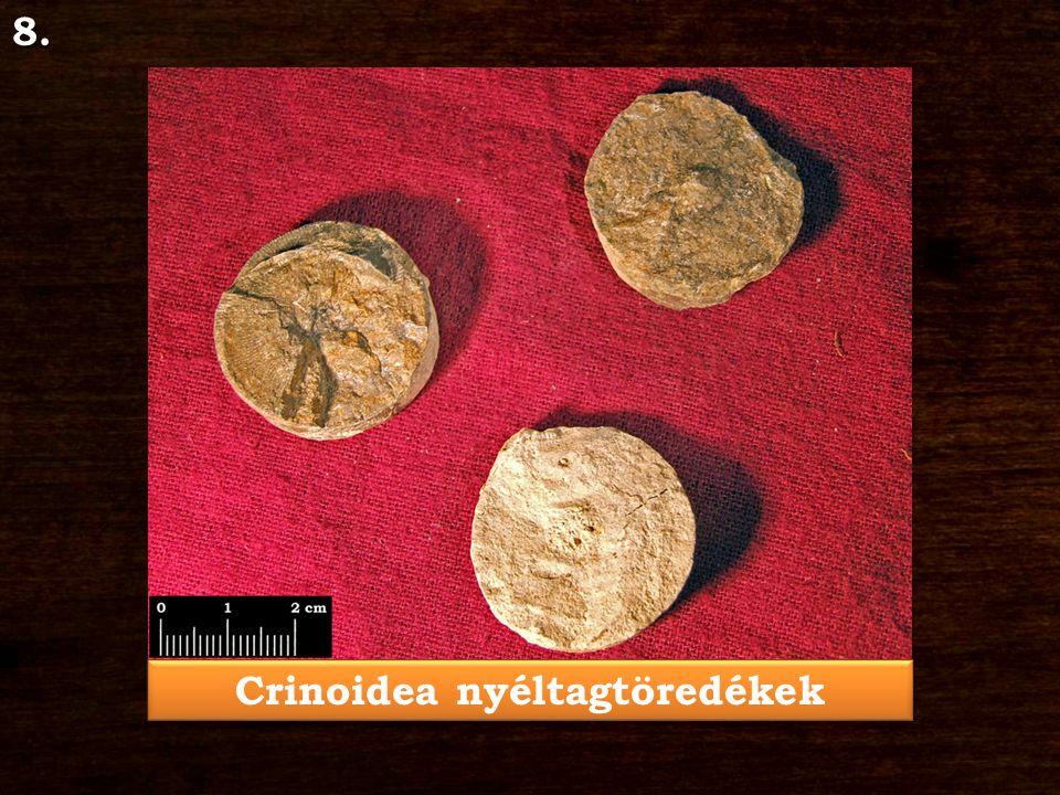 Crinoidea nyéltagtöredékek 8.