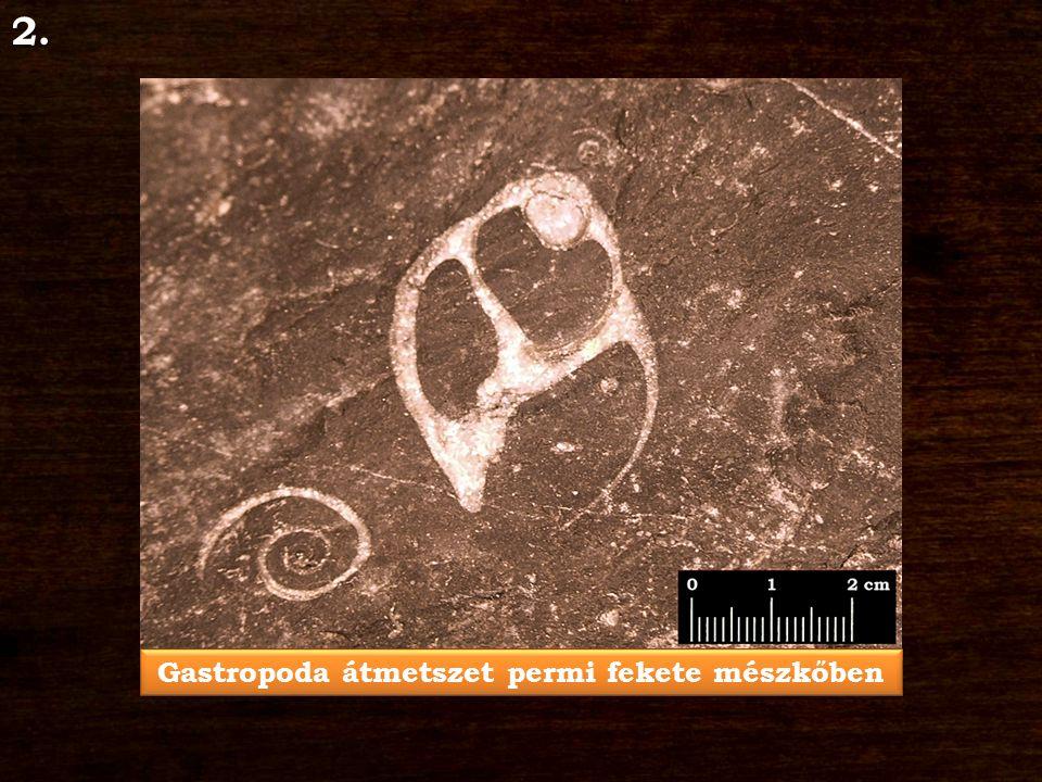 Gastropoda átmetszet permi fekete mészkőben 2.