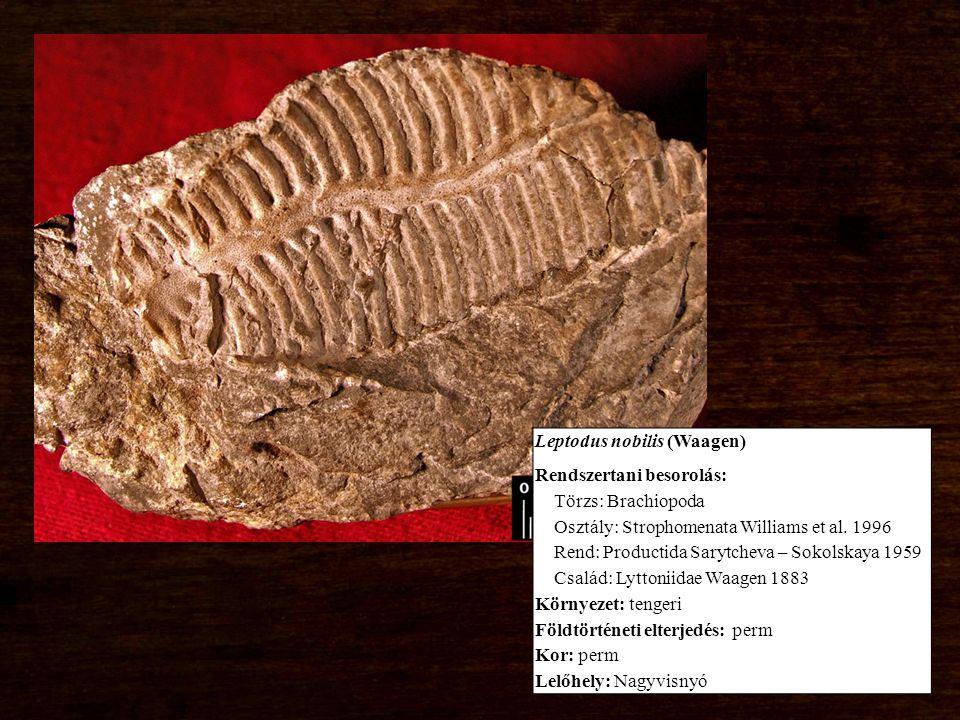 Leptodus nobilis (Waagen) Rendszertani besorolás: Törzs: Brachiopoda Osztály: Strophomenata Williams et al.