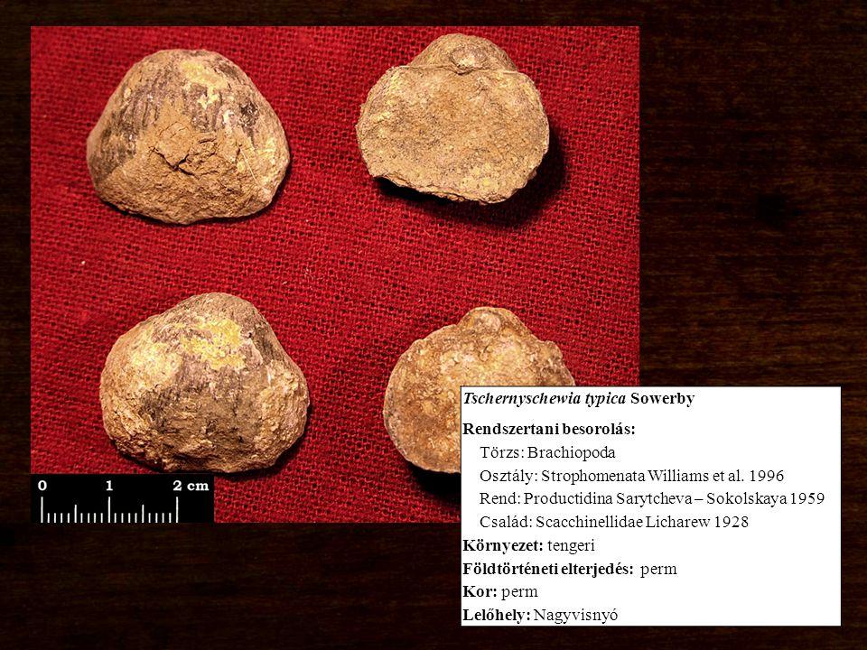 Tschernyschewia typica Sowerby Rendszertani besorolás: Törzs: Brachiopoda Osztály: Strophomenata Williams et al.