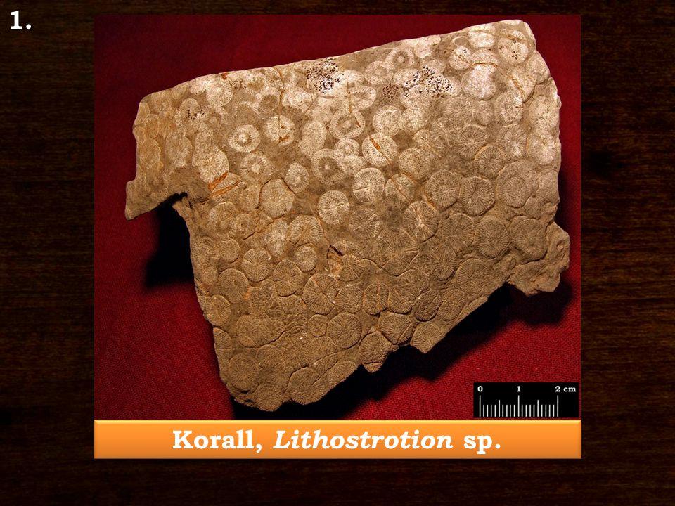 Brachiopoda, Marginifera bükkensis Schréter 3.