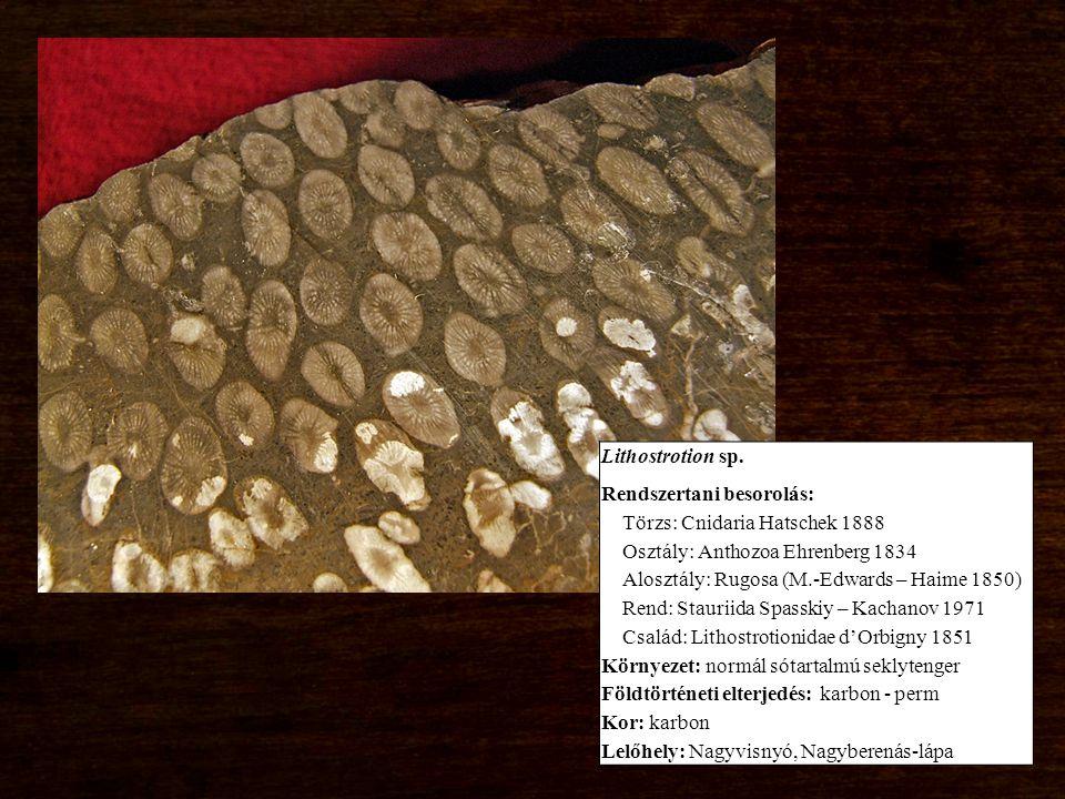 Korall, Siringopora sp. 3.