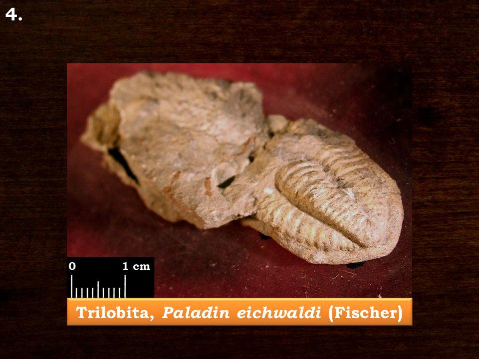 Trilobita, Paladin eichwaldi ( Fischer ) 4.