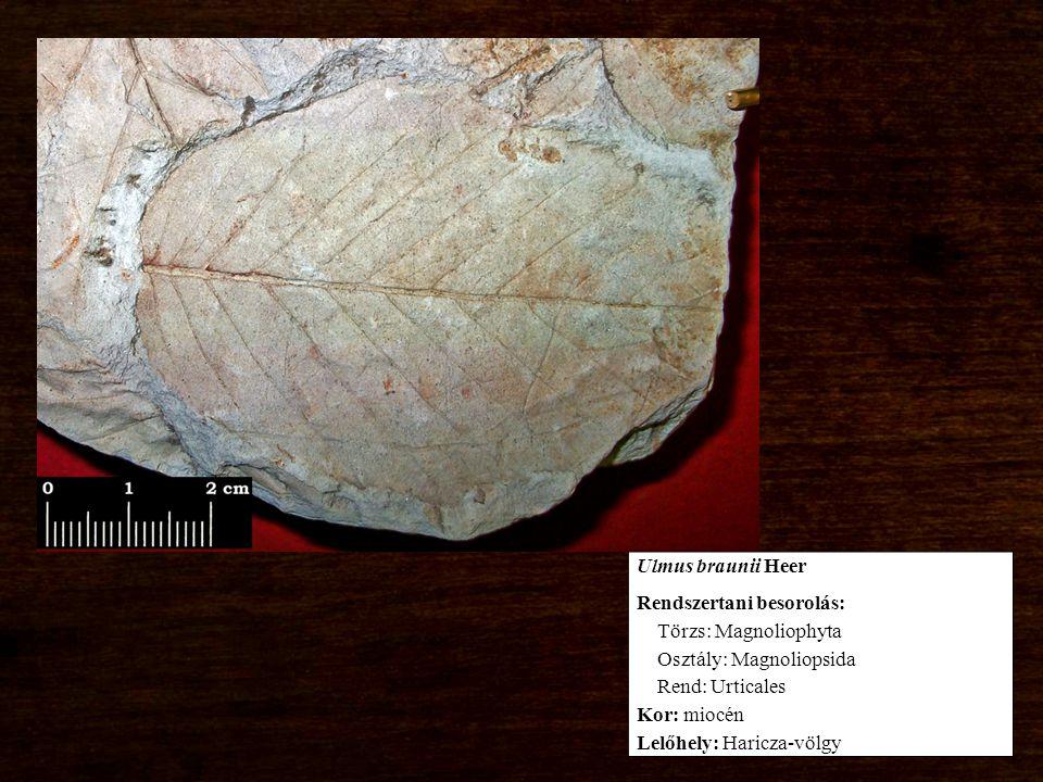 Rendszertani besorolás: Törzs: Magnoliophyta Osztály: Magnoliopsida Rend: Urticales Kor: miocén Lelőhely: Haricza-völgy