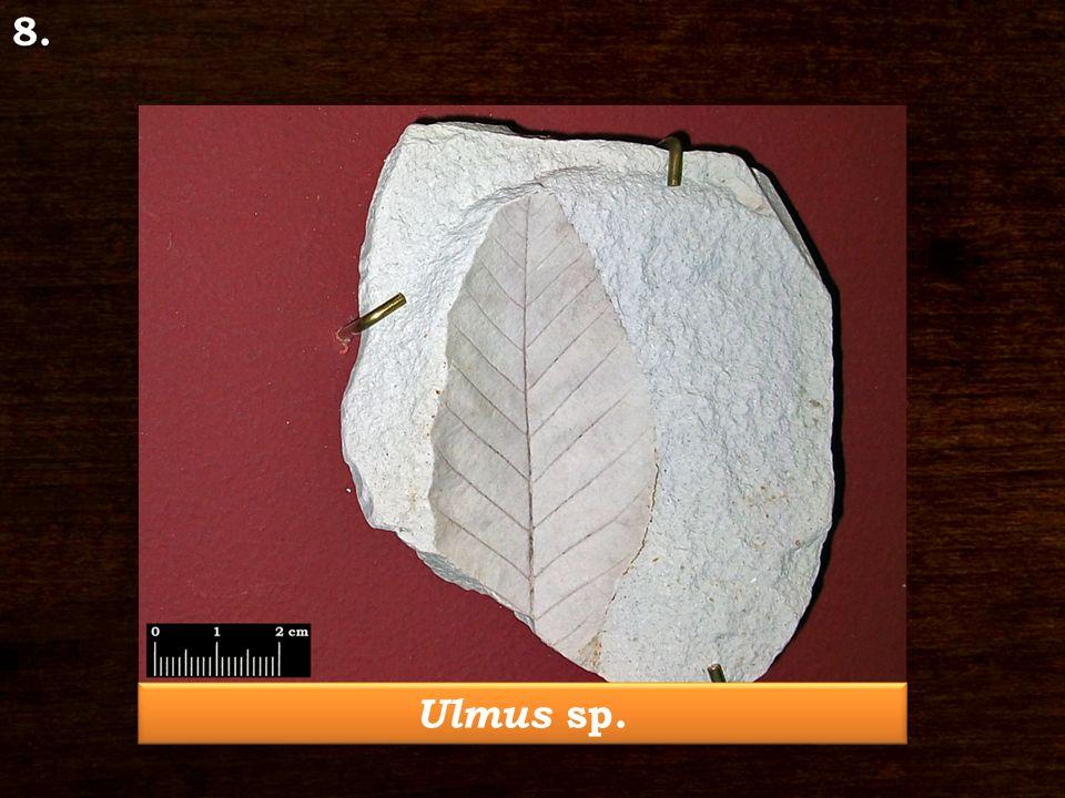 Ulmus sp. 8.