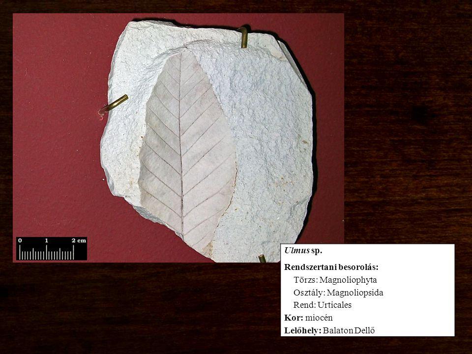 Rendszertani besorolás: Törzs: Magnoliophyta Osztály: Magnoliopsida Rend: Urticales Kor: miocén Lelőhely: Balaton Dellő
