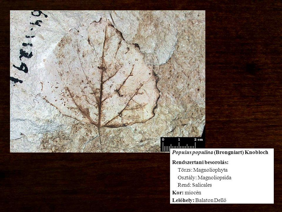 Rendszertani besorolás: Törzs: Magnoliophyta Osztály: Magnoliopsida Rend: Salicales Kor: miocén Lelőhely: Balaton Dellő