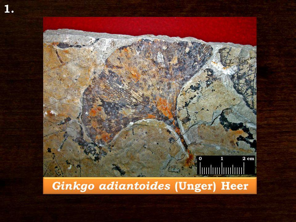 1. Ginkgo adiantoides (Unger) Heer