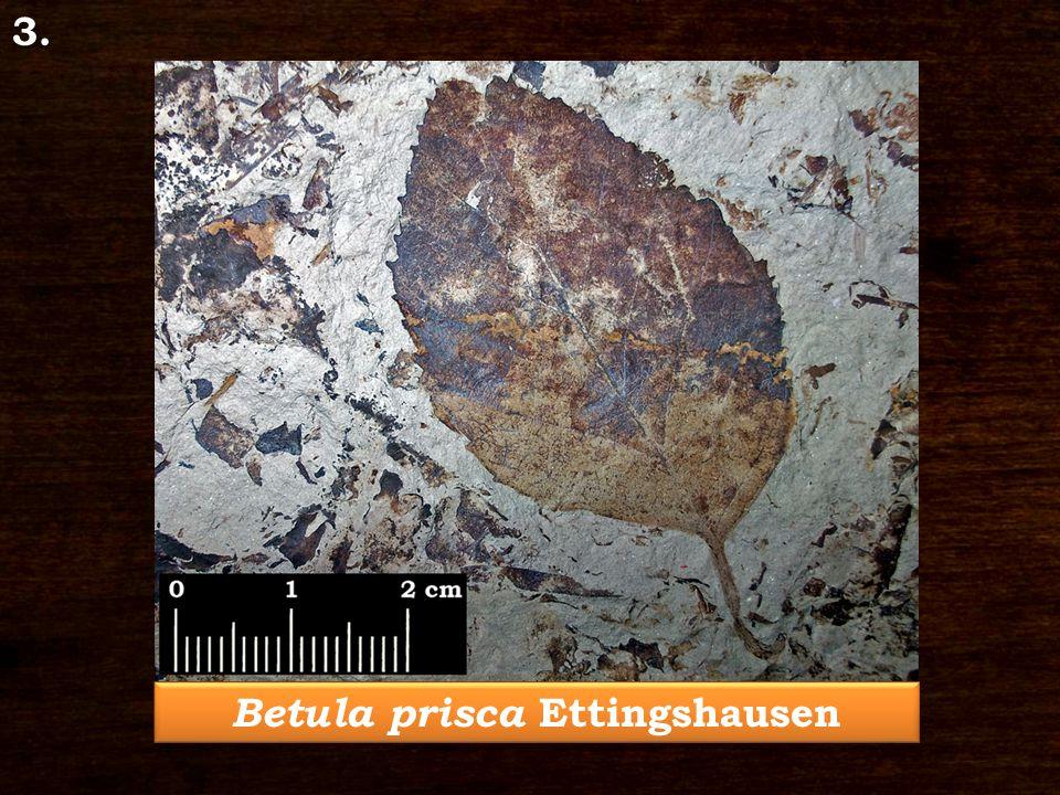 3. Betula prisca Ettingshausen