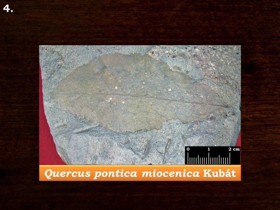 4. Quercus pontica miocenica Kubát