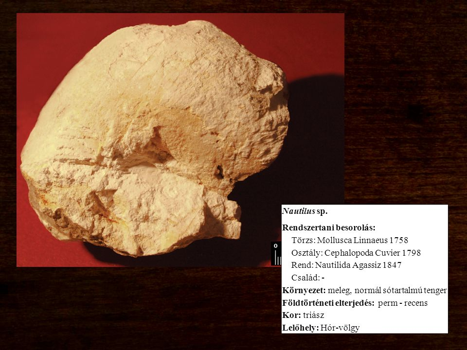 Nautilus sp. Rendszertani besorolás: Törzs: Mollusca Linnaeus 1758 Osztály: Cephalopoda Cuvier 1798 Rend: Nautilida Agassiz 1847 Család: - Környezet:
