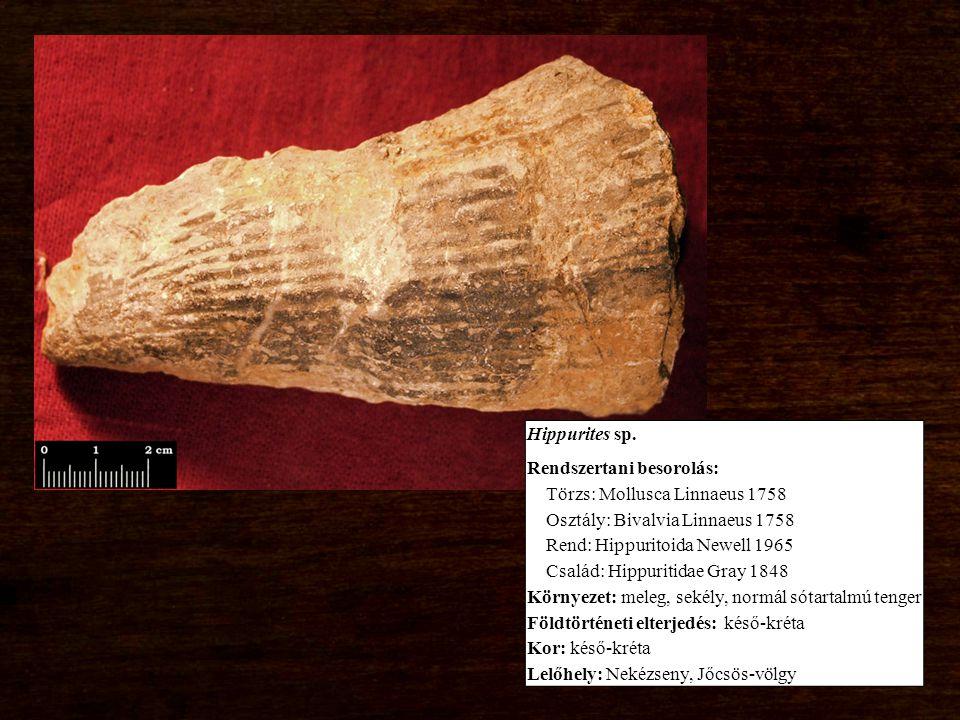 Hippurites sp. Rendszertani besorolás: Törzs: Mollusca Linnaeus 1758 Osztály: Bivalvia Linnaeus 1758 Rend: Hippuritoida Newell 1965 Család: Hippuritid