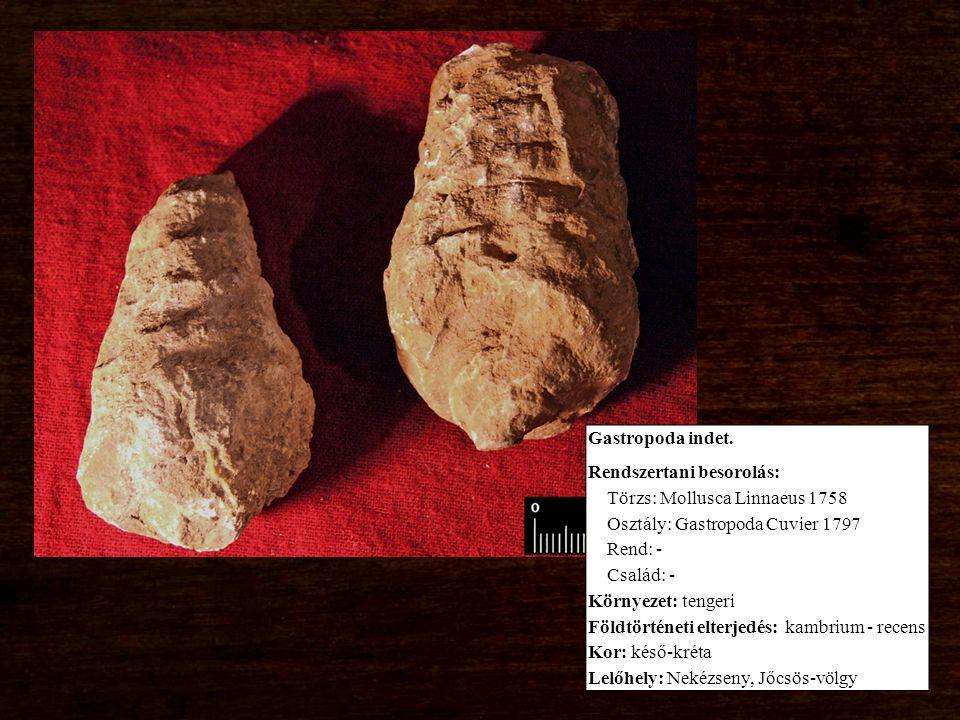 Gastropoda indet. Rendszertani besorolás: Törzs: Mollusca Linnaeus 1758 Osztály: Gastropoda Cuvier 1797 Rend: - Család: - Környezet: tengeri Földtörté