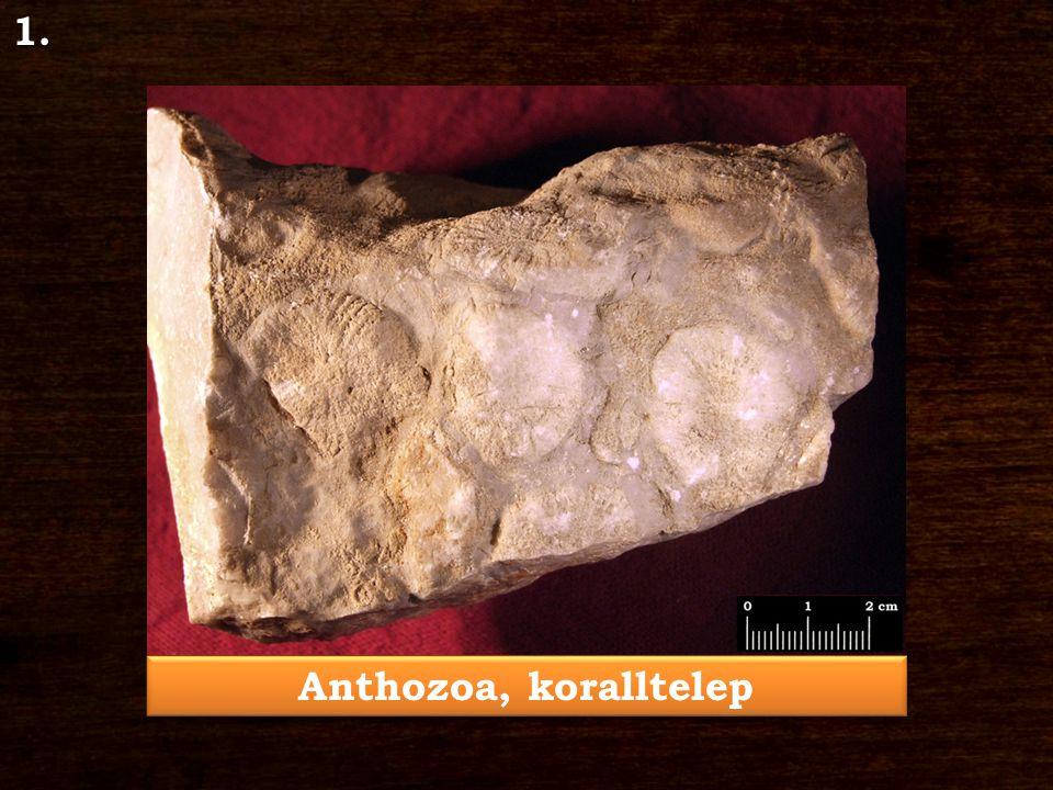 Anthozoa, koralltelep 1.
