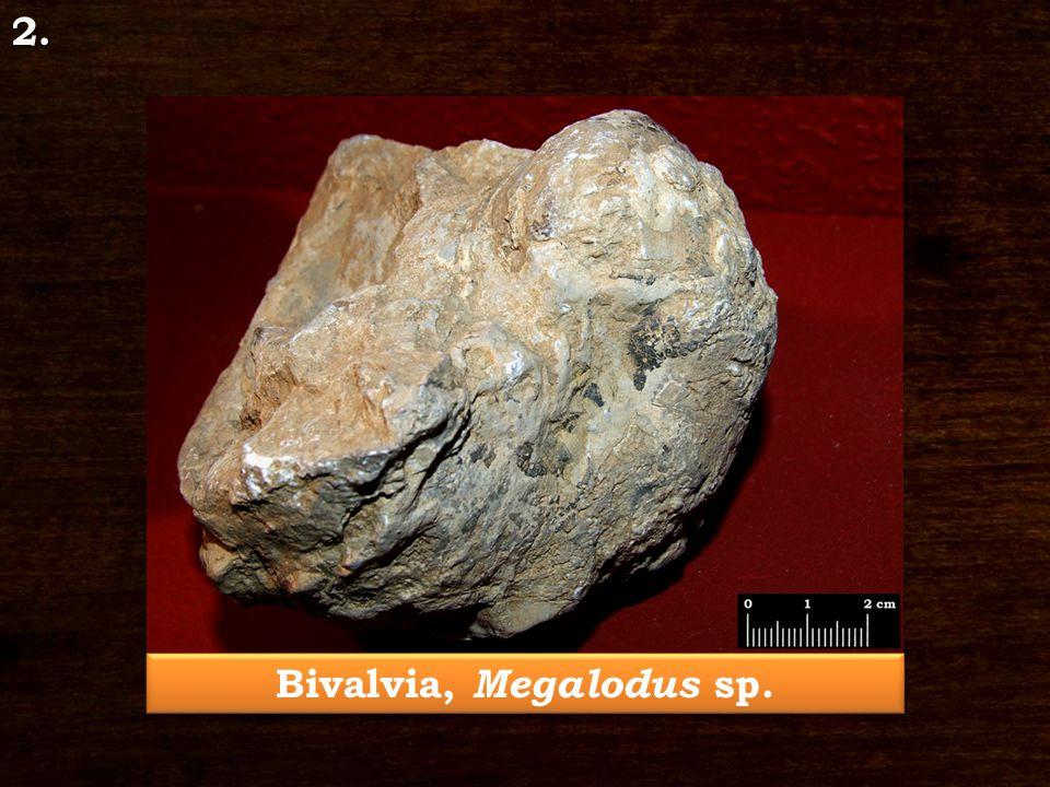 Bivalvia, Megalodus sp. 2.