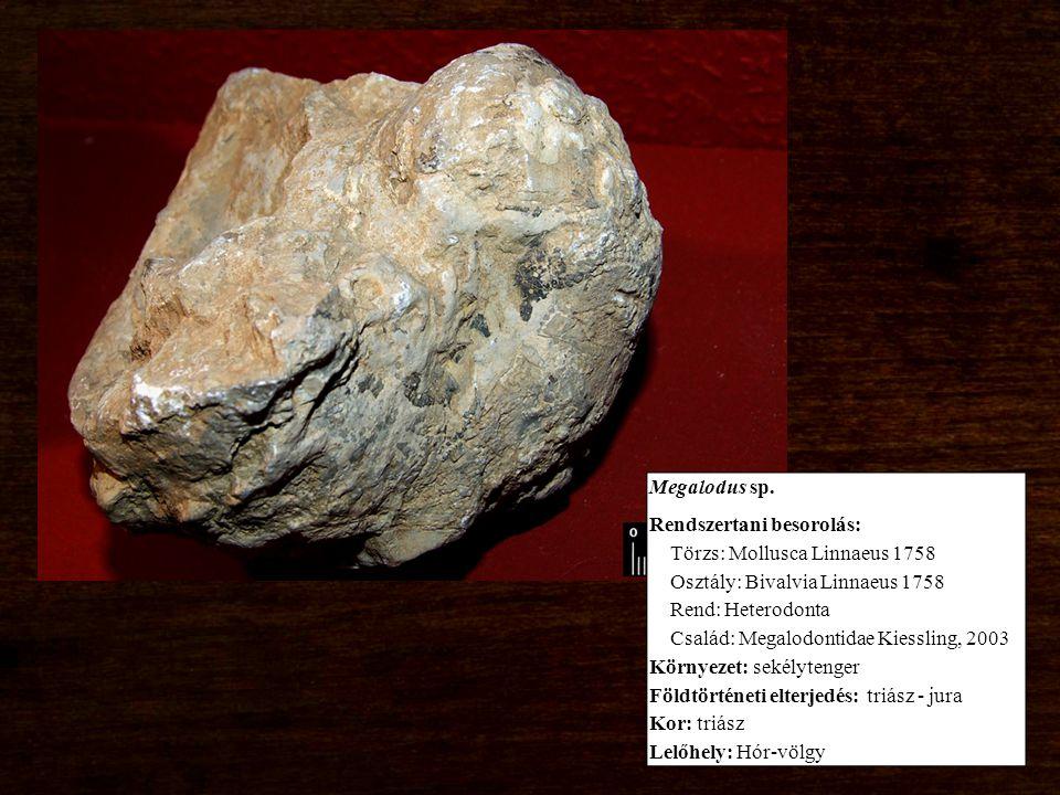 Megalodus sp. Rendszertani besorolás: Törzs: Mollusca Linnaeus 1758 Osztály: Bivalvia Linnaeus 1758 Rend: Heterodonta Család: Megalodontidae Kiessling