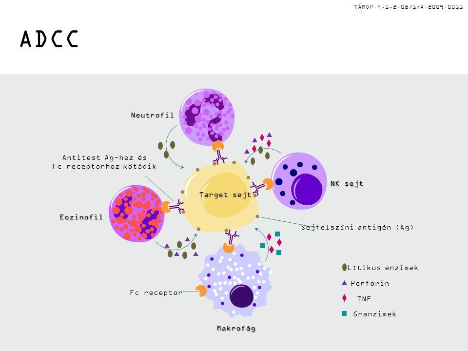 TÁMOP-4.1.2-08/1/A-2009-0011 ADCC Lítikus enzimek Perforin TNF Granzimek Neutrofil NK sejt Eozinofil Makrofág Antitest Ag-hez és Fc receptorhoz kötődik Fc receptor Target sejt Sejfelszíni antigén (Ag)