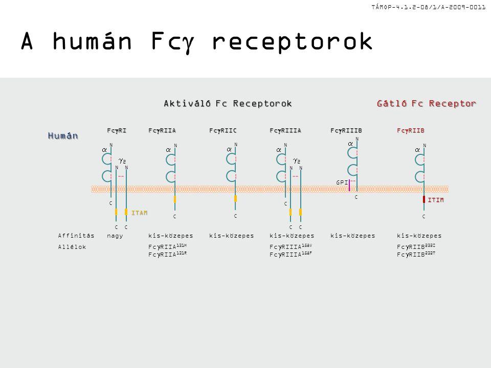 TÁMOP-4.1.2-08/1/A-2009-0011 A humán Fc  receptorok 22 NN CC  C N N  C N  C 22 NN CC  C N  C N N  C Fc  RI Fc  RIIA Fc  RIIC Fc  RIIIA