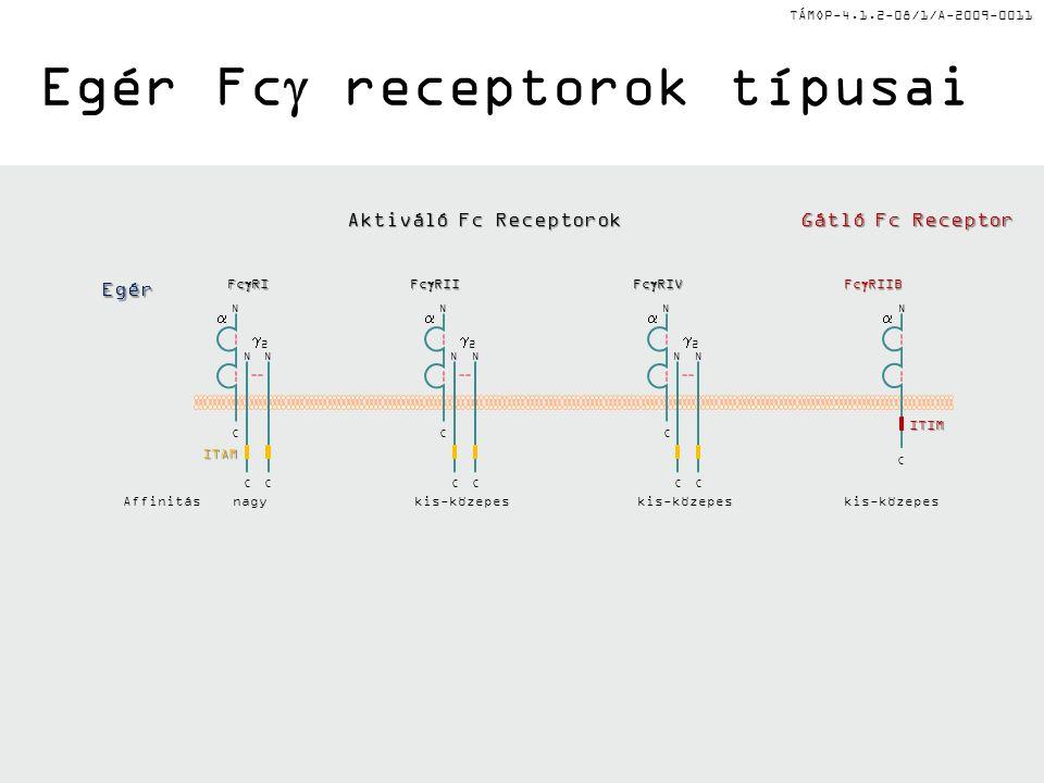 TÁMOP-4.1.2-08/1/A-2009-0011 Egér Fc  receptorok típusaiITAM 22 NN CC  C N kis-közepes 22 NN CC  C N N  C Fc  RII Fc  RIV Fc  RIIB Fc  RI 22 NN CC  C N nagy ITIM Egér Affinitás Aktiváló Fc Receptorok Gátló Fc Receptor