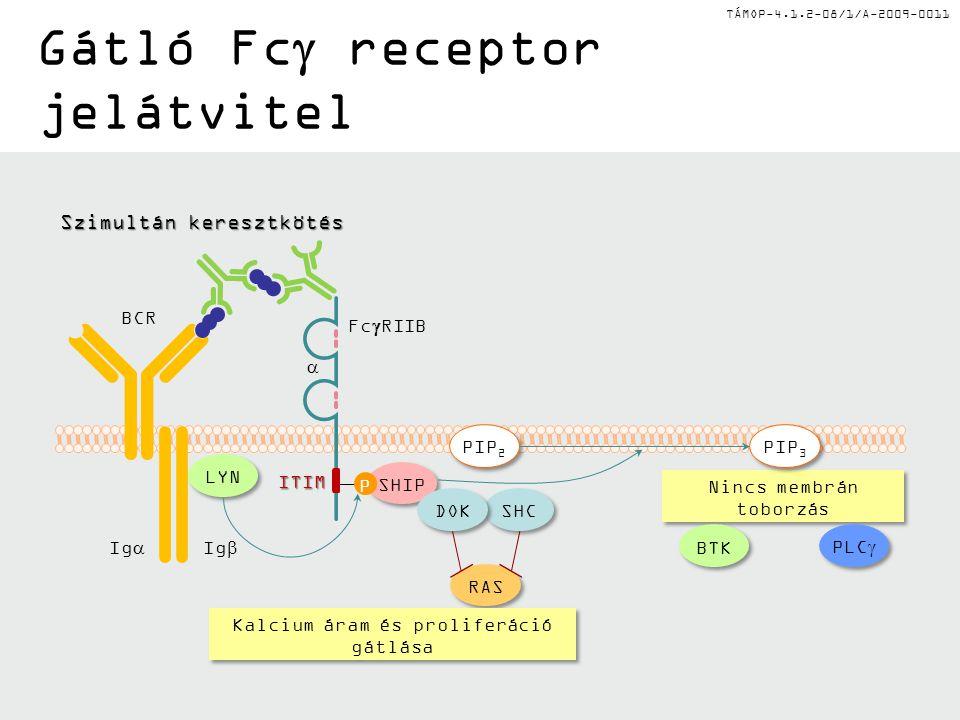 TÁMOP-4.1.2-08/1/A-2009-0011 Gátló Fc  receptor jelátvitel Nincs membrán toborzás SHIP Fc  RIIB P  BCR Ig  Ig  ITIM LYN PLC  BTK RAS SHC DOK Szimultán keresztkötés Kalcium áram és proliferáció gátlása PIP 3 PIP 2