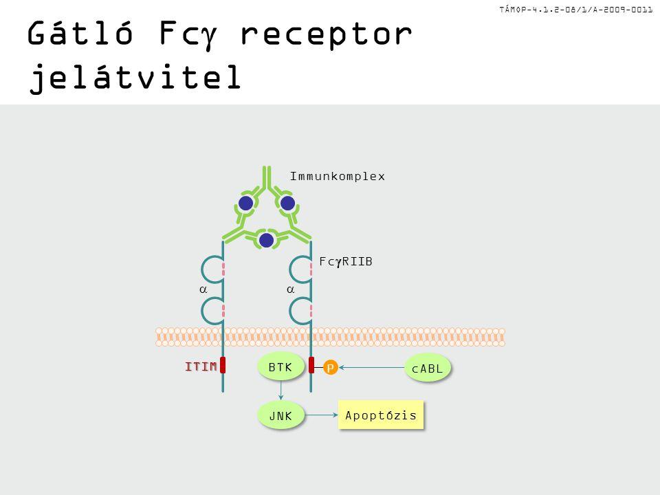 TÁMOP-4.1.2-08/1/A-2009-0011 Gátló Fc  receptor jelátvitel  ITIM P BTK cABL JNK Apoptózis Fc  RIIB Immunkomplex