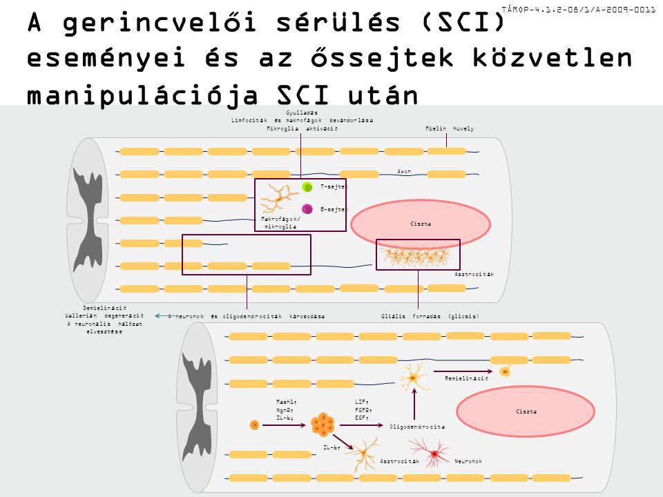 TÁMOP-4.1.2-08/1/A-2009-0011 A gerincvelői sérülés (SCI) eseményei és az őssejtek közvetlen manipulációja SCI után AsztrocitákNeuronok Remielináció Ol