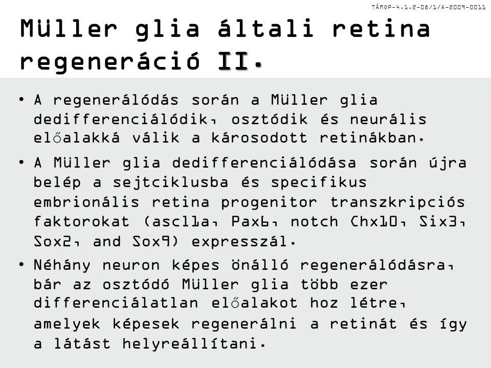TÁMOP-4.1.2-08/1/A-2009-0011 II. Müller glia általi retina regeneráció II. A regenerálódás során a Müller glia dedifferenciálódik, osztódik és neuráli