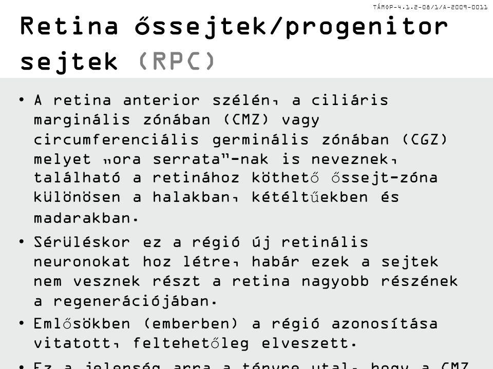 TÁMOP-4.1.2-08/1/A-2009-0011 Retina őssejtek/progenitor sejtek (RPC) A retina anterior szélén, a ciliáris marginális zónában (CMZ) vagy circumferenciá
