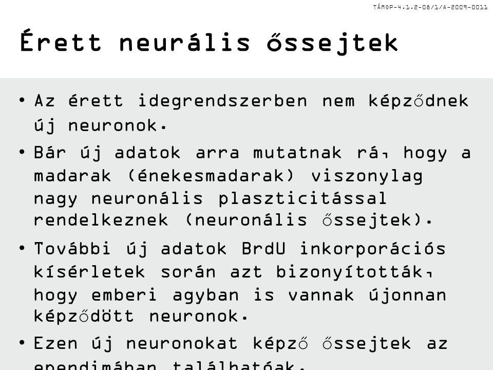 TÁMOP-4.1.2-08/1/A-2009-0011 A emlős neurális őssejtek lokalizációja két fő germinatív régió Érett emlős agyban két fő germinatív régió van jelen: az oldalsó agykamra szubventrikuláris zónájában a hippocampus dentát gyrus subgranuláris sejtes rétegében