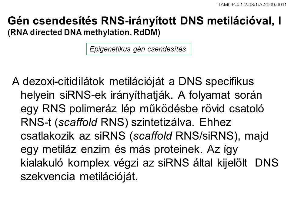 Gén csendesítés RNS-irányított DNS metilációval, I (RNA directed DNA methylation, RdDM) A dezoxi-citidilátok metilációját a DNS specifikus helyein siR
