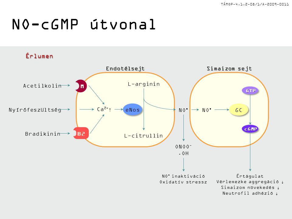 TÁMOP-4.1.2-08/1/A-2009-0011 NO-cGMP útvonalÉrlumenEndotélsejt Simaizom sejt Acetilkolin Nyírófeszültség Bradikinin L-arginin L-citrullin NO GTPGTP cGMPcGMP GC eNos Ca 2+ ↑ Értágulat Vérlemezke aggregáció ↓ Simaizom növekedés ↓ Neutrofil adhézió ↓ NO inaktiváció Oxidatív stressz ONOO -.OH M B2