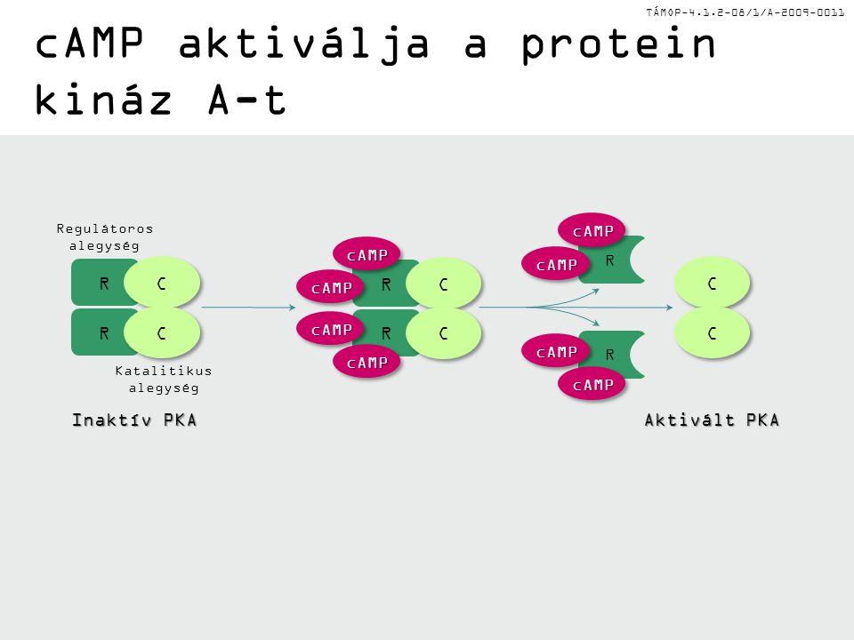 TÁMOP-4.1.2-08/1/A-2009-0011 cAMP aktiválja a protein kináz A-t Inaktív PKA Aktivált PKA R R C C C C cAMPcAMP cAMPcAMP cAMPcAMP cAMPcAMP R R C C C C C C C C R R cAMPcAMP cAMPcAMP cAMPcAMP cAMPcAMP Regulátoros alegység Katalitikus alegység