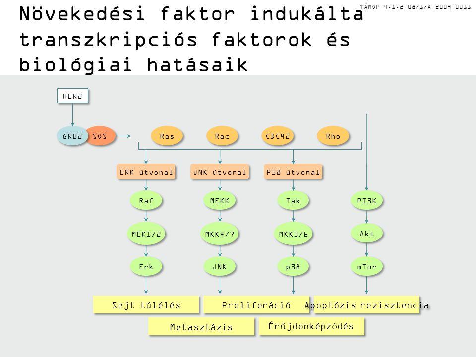 TÁMOP-4.1.2-08/1/A-2009-0011 Növekedési faktor indukálta transzkripciós faktorok és biológiai hatásaik Sejt túlélés Proliferáció Apoptózis rezisztencia Metasztázis Érújdonképződés SOS GRB2 Ras Rac Rho CDC42 MEK1/2 Erk Raf ERK útvonal MKK4/7 JNK MEKK JNK útvonal MKK3/6 p38 Tak P38 útvonal Akt mTor PI3K HER2