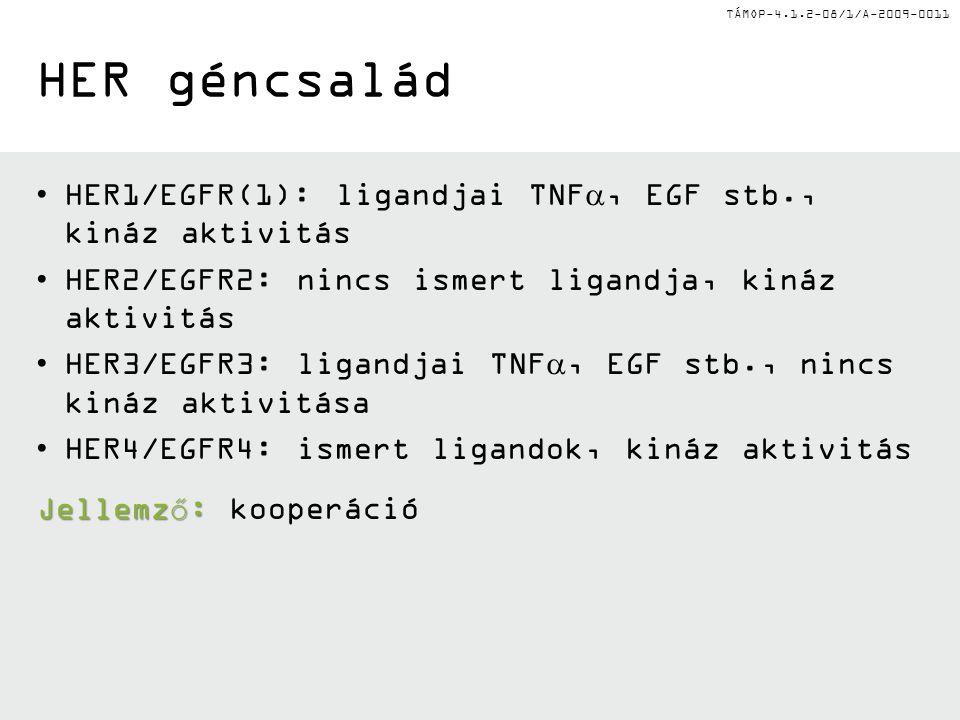 TÁMOP-4.1.2-08/1/A-2009-0011 HER géncsalád HER1/EGFR(1): ligandjai TNF , EGF stb., kináz aktivitás HER2/EGFR2: nincs ismert ligandja, kináz aktivitás HER3/EGFR3: ligandjai TNF , EGF stb., nincs kináz aktivitása HER4/EGFR4: ismert ligandok, kináz aktivitás Jellemző: Jellemző: kooperáció