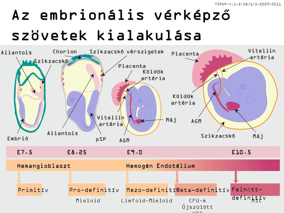 TÁMOP-4.1.2-08/1/A-2009-0011 Az embrionális vérképző szövetek kialakulása Pro-definitívPrimitívMeta-definitívMezo-definitívFelnőtt- definitív E10.5E7.5E9.0E8.25 Hemangioblaszt Hemogén Endotélium MieloidLimfoid-MieloidCFU-k Újszülött HSC HSC Szikzacskó Allantois Chorion Allantois Szikzacskó vérszigetek Placenta AGM Máj Placenta AGM Máj Szikzacskó Embrió pSP Köldökartéria Vitellin artéria Köldökartéria Vitellin