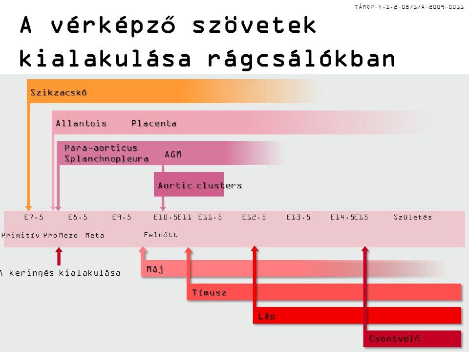 TÁMOP-4.1.2-08/1/A-2009-0011 A vérképző szövetek kialakulása rágcsálókban Szikzacskó A keringés kialakulása ProPrimitívMetaMezoFelnőtt E7.5E8.5E9.5E10.5E11.5E12.5E15E13.5E14.5SzületésE11 Para-aorticus Splanchnopleura Allantois AGM Aortic clusters Placenta