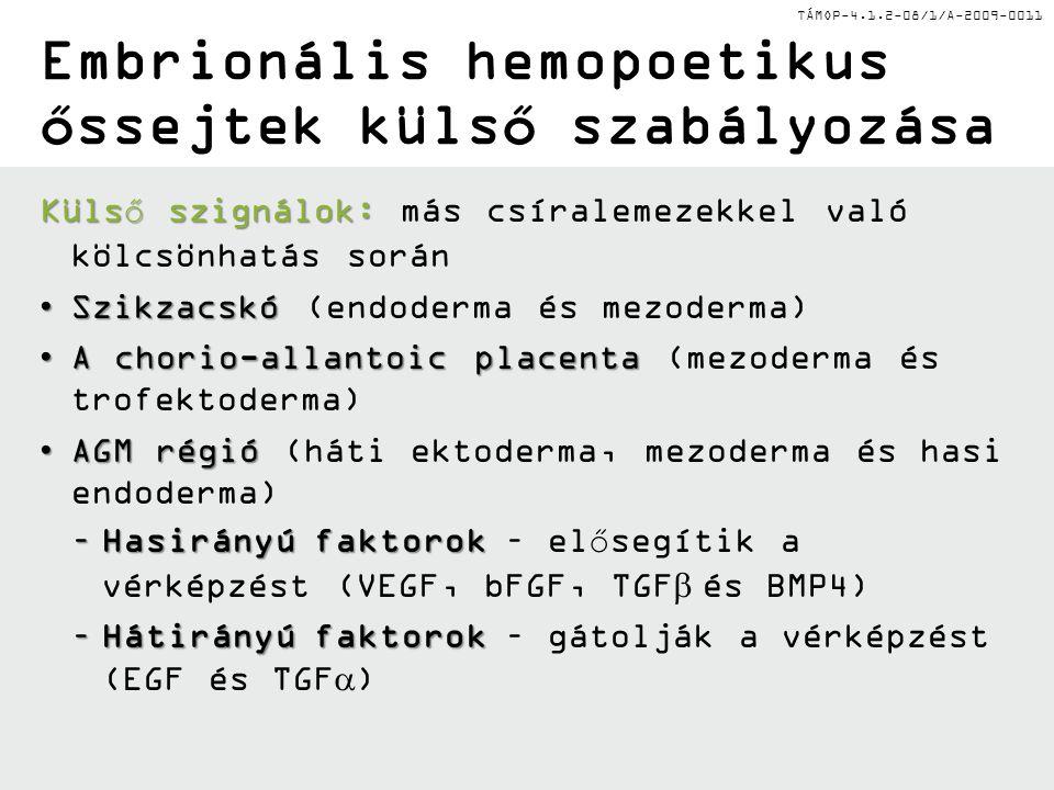 TÁMOP-4.1.2-08/1/A-2009-0011 Embrionális hemopoetikus őssejtek külső szabályozása Külső szignálok: Külső szignálok: más csíralemezekkel való kölcsönhatás során SzikzacskóSzikzacskó (endoderma és mezoderma) A chorio-allantoic placentaA chorio-allantoic placenta (mezoderma és trofektoderma) AGM régióAGM régió (háti ektoderma, mezoderma és hasi endoderma) –Hasirányú faktorok –Hasirányú faktorok – elősegítik a vérképzést (VEGF, bFGF, TGF  és BMP4) –Hátirányú faktorok –Hátirányú faktorok – gátolják a vérképzést (EGF és TGF  )