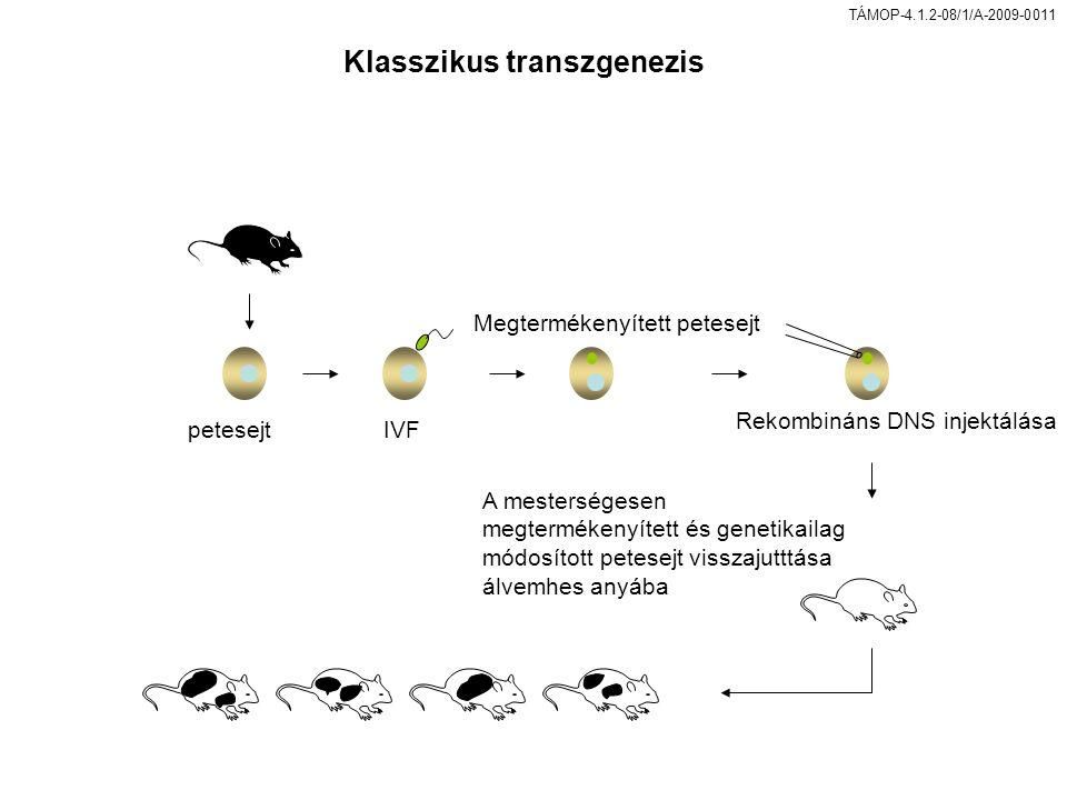 TÁMOP-4.1.2-08/1/A-2009-0011 Klasszikus transzgenezis petesejtIVF Megtermékenyített petesejt Rekombináns DNS injektálása A mesterségesen megtermékenyített és genetikailag módosított petesejt visszajutttása álvemhes anyába