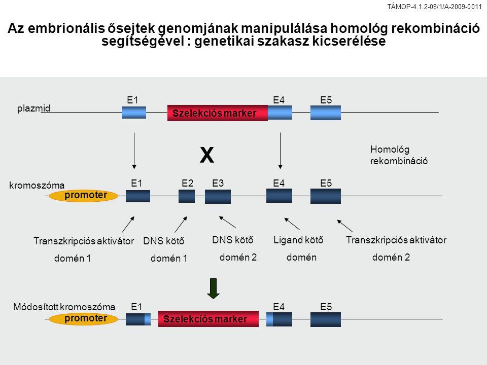 promoter E1E2E3E4E5 E1E4E5 Transzkripciós aktivátor domén 1 Transzkripciós aktivátor domén 2 DNS kötő domén 1 DNS kötő domén 2 Ligand kötő domén Szelekciós marker X promoter E1E4E5 Homológ rekombináció plazmid kromoszóma Módosított kromoszóma Szelekciós marker Az embrionális ősejtek genomjának manipulálása homológ rekombináció segítségével : genetikai szakasz kicserélése