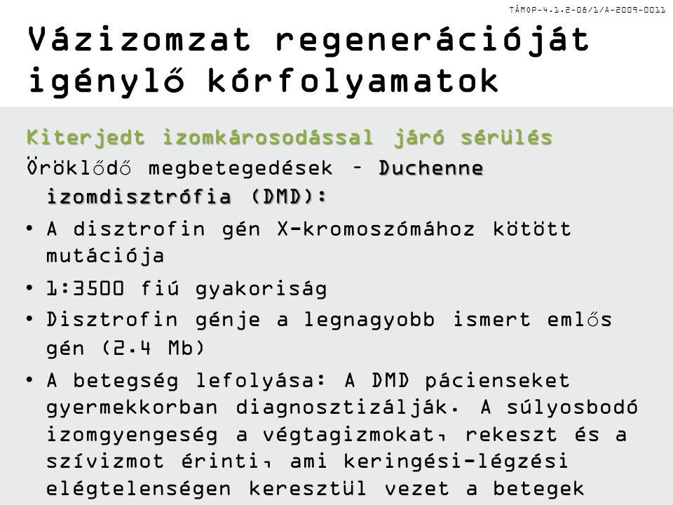 TÁMOP-4.1.2-08/1/A-2009-0011 Vázizomzat regenerációját igénylő kórfolyamatok Kiterjedt izomkárosodással járó sérülés Duchenne izomdisztrófia (DMD): Öröklődő megbetegedések – Duchenne izomdisztrófia (DMD): A disztrofin gén X-kromoszómához kötött mutációja 1:3500 fiú gyakoriság Disztrofin génje a legnagyobb ismert emlős gén (2.4 Mb) A betegség lefolyása: A DMD pácienseket gyermekkorban diagnosztizálják.