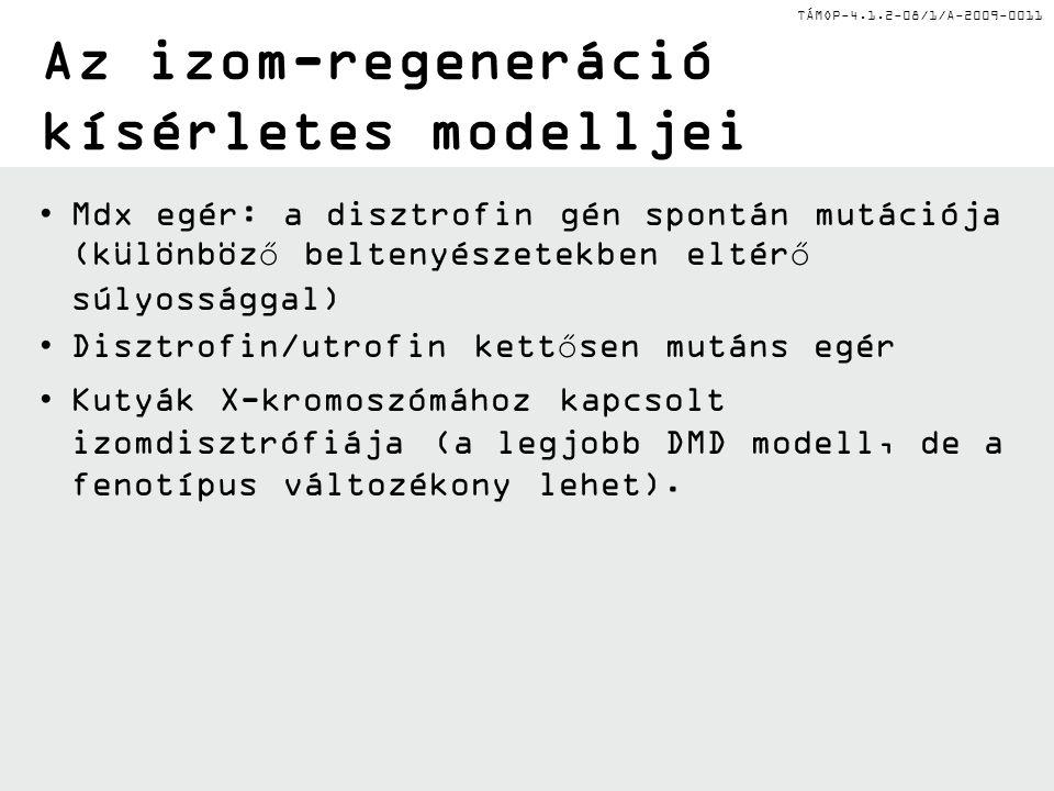 TÁMOP-4.1.2-08/1/A-2009-0011 Az izom-regeneráció kísérletes modelljei Mdx egér: a disztrofin gén spontán mutációja (különböző beltenyészetekben eltérő