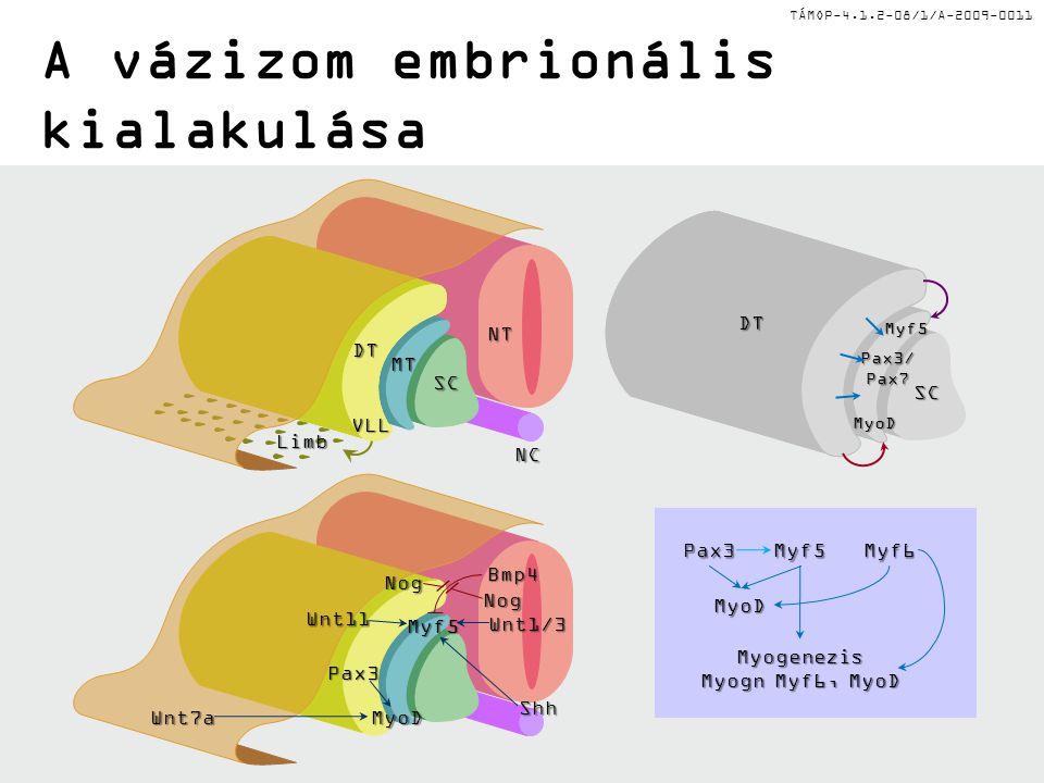 TÁMOP-4.1.2-08/1/A-2009-0011 A vázizom embrionális kialakulása Myf5Myf6Pax3 MyoD Myogenezis Myogn Myf6, MyoD NT NC MT SC Limb VLL DT DT SC Myf5 Pax3/P
