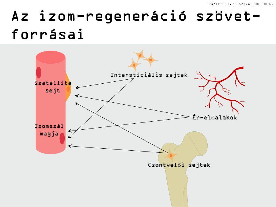 TÁMOP-4.1.2-08/1/A-2009-0011 Az izom-regeneráció szövet- forrásai Ér-előalakok Intersticiális sejtek Csontvelői sejtek Izomszálmagja Szatellitasejt
