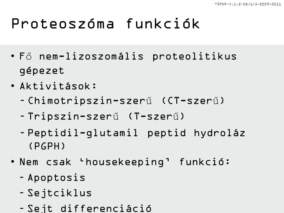 TÁMOP-4.1.2-08/1/A-2009-0011 Fő nem-lizoszomális proteolitikus gépezet Aktivitások: –Chimotripszin-szerű (CT-szerű) –Tripszin-szerű (T-szerű) –Peptidi