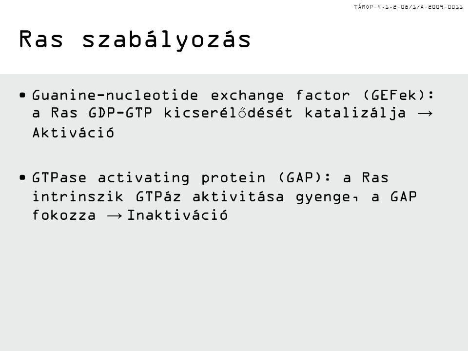 TÁMOP-4.1.2-08/1/A-2009-0011 Ras szabályozás Guanine-nucleotide exchange factor (GEFek): a Ras GDP-GTP kicserélődését katalizálja → Aktiváció GTPase a