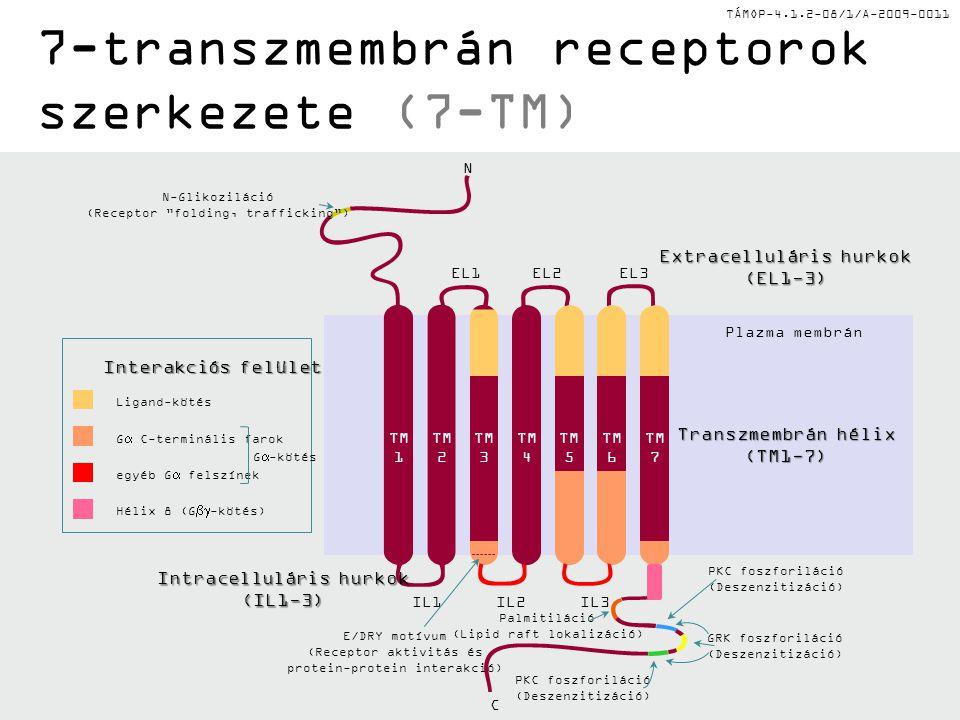 TÁMOP-4.1.2-08/1/A-2009-0011 GPCR szabályozás PKA feedback foszforiláció G-fehérje receptor kináz (GRK1-7): 7TM aktivációját szabályozza a receptor C- terminálisának foszforilációja révén Transzlokáció: az aktív receptor internalizálódik a környező membránnal – savas vezikulákban defoszforilálódik és visszajut a felszínre Arresztin kötődés: az arresztin molekula kötődése gátolja a Gs fehérje kötődését a receptorhoz (pl.