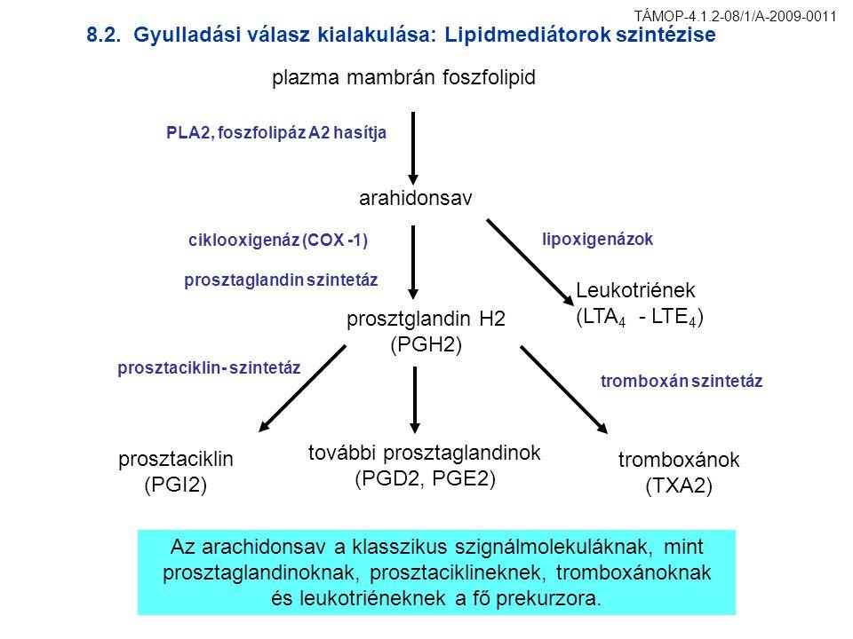 plazma mambrán foszfolipid arahidonsav PLA2, foszfolipáz A2 hasítja Leukotriének (LTA 4 - LTE 4 ) lipoxigenázok prosztglandin H2 (PGH2) további proszt