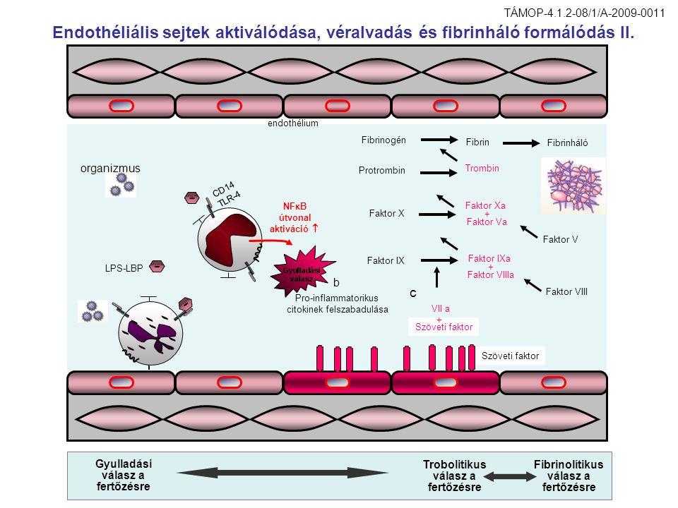 Endothéliális sejtek aktiválódása, véralvadás és fibrinháló formálódás II. b Pro-inflammatorikus citokinek felszabadulása Szöveti faktor c Faktor IXa